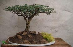 Pierneef bonsai Style is a tree that looks like a mejestic savanna tree. Originating from South Africa, this is a dificult style, due to its simplicity. Savanna Tree, Bougainvillea Bonsai, Bonsai Styles, Bonsai Garden, Fly Girls, Acacia, Farming, South Africa, Gardening