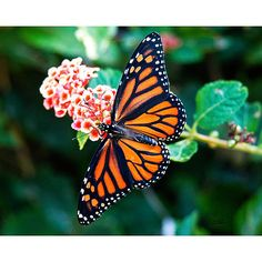 Bring a touch a nature indoors with this beautiful photograph. This vibrant wall art features a stunningly orange monarch butterfly resting upon a floral branch. These bold colors will make a sensatio