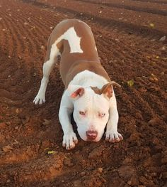 Looks so much like my Cocoa, even has the 1-Green 1-Blue eyes! #pitbull
