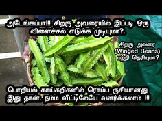 Have you heard about Winged beans? It is one of the tastiest vegetable that we can grow in our home garden itself. Let me share the biggest harvest we had in. Herb Recipes, Asparagus, Green Beans, Harvest, Wings, Face Yoga, Tasty, Herbs, Vegetables
