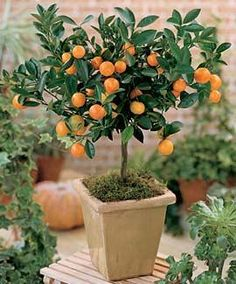 Miniature Orange Tree. Was my original inspiration. Would not use it anywhere close to large orange tree by front glass entrance, but since space is large, with three areas, it may bear repeating, but not sure at all, Just like it. As said, it was my original inspiration.