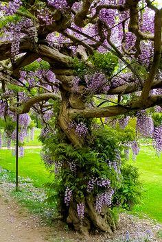 Cet arbre captivant va grandir et s'épanouir avec autant de fleurs, les troncs et les vignes seront donc alourdis.  La seule façon qu'il peut rester, est un soutien.  La glycine est un symbole de l'amour éternel et de romance.