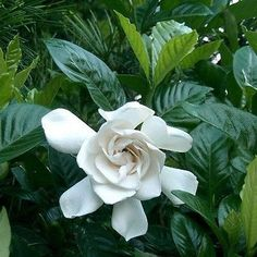 Gardenia Cape Jasmine Prolific bloomer with large, sweetly fragrant, velvety white flowers. Lustrous foliage on a rounded evergreen shrub, useful as a low hedge, screen or accent for entryways. Wonder