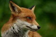 Red Fox by Peter G Trimming