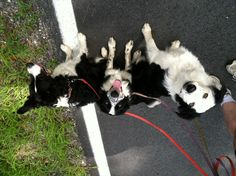 Afternoon walk, with DH & our 3 Border Collies - (L to R) River, Quinn, and Zoey.