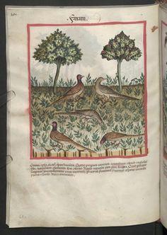 Cod. Ser. n. 2644, fol. 68v: Tacuinum sanitatis: Faxani