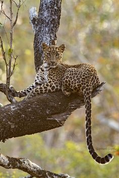 733 Best Big Cats Images In 2019 Big Cats Wild Animals Animal