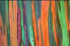 Eucalyptus deglupta is a tall tree, commonly known as the rainbow eucalyptus, Mindanao gum, or rainbow gum – it's the only eucalyptus tree that grows in the Northern hemisphere. Tropic Pictures, Rainbow Eucalyptus Tree, Colorful Trees, Tree Bark, Green Art, Textures Patterns, Painting, Maui Hawaii, Hawaii Usa