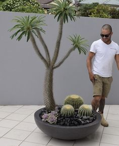 Pachypodium Lamerei Madagascar Palm. Feature plants. Garden design. Cactus Gardens. Landscape design. Created, supplied and designed by Beautiful Gardens Exotic Nursery NSW Australia