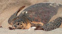 Marine Conservation, Green Turtle, Endangered Species, Western Australia, Science Nature, Westerns, Coast, Abc News, 30 Years