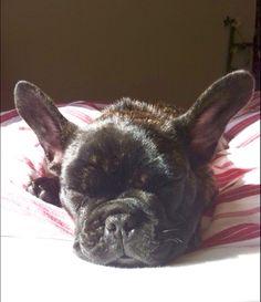 Molly, French Bulldog Puppy❤️
