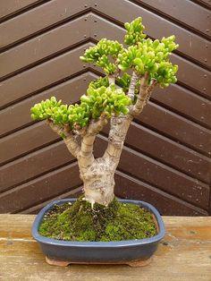 Málem zapomenuté sukulenty (36) Jade Plant Bonsai, Succulent Bonsai, Jade Plants, Bonsai Plants, Growing Succulents, Cacti And Succulents, Bonsai Pruning, Jade Succulent, Jade Tree