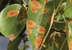 Tratamento de plantas afetadas por fungos - Pragas e Doenças - Plantas, Flores e Jardins