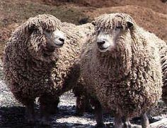Leicester Longwool sheep Sheep Breeds, Counting Sheep, Goat Farming, Lambs, Leicester, Livestock, Farm Animals, Goats, Appreciation
