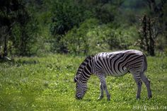A zebra stops for a bite to eat in a lush, green field. (Photo by: EarthXplorer)