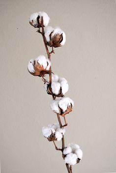 Cotton flowers - Branche de fleurs de coton. Marine R