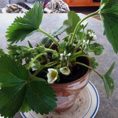 Strawberry plant in full bloom :)