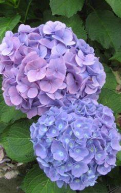 Boerenhortensia; zomer/najaarsbloeier; blauw; zure/normale grond