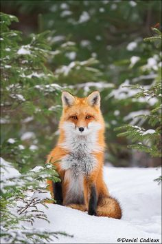 Image result for fox sitting