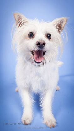 Meet Willy! West Highland Terrier mix, filled with 18 pounds of cute! #Muttville #SeniorDogs