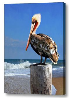This majestic brown pelican takes a gander from his perfect perch on a clear Atlantic Ocean morning. Has he had his fish breakfast? Or, is he still on the lookout? There are more than half a dozen spe