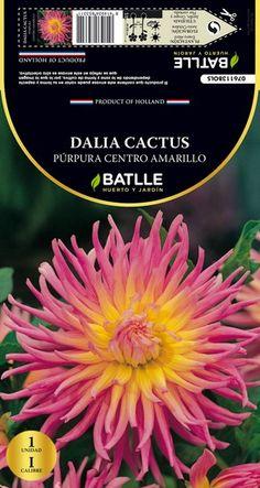 Bulbo flores Dalia Cactus Púrpura-amarillo 1 ud