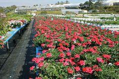 yards of Tukana Raspberry Verbena