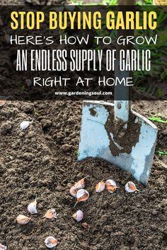Stop Buying Garlic. Here's How To Grow An Endless Supply Of Garlic Right At Home Backyard Vegetable Gardens, Veg Garden, Garden Care, Edible Garden, Outdoor Gardens, Garden Tips, Garden Plants, Growing Veggies, Growing Herbs
