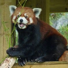 Happy Red Panda by njchow82, via Flickr