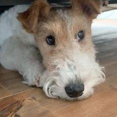 Wire Fox Terrier Puppies, Perro Fox Terrier, Wirehaired Fox Terrier, Welsh Terrier, Terrier Dogs, Wire Fox Terriers, White Terrier, Staffordshire Terriers, American Staffordshire