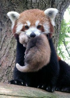 7616cc597 Red panda Nature Animals, Baby Animals, Animals And Pets, Funny Animals,  Cute