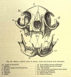 cat anatomy anatomy and cats on pinterest : cat skull anatomy diagram - findchart.co