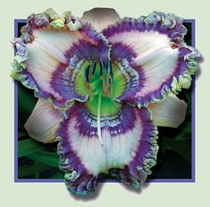 Cobalt Rings (Petit, 20113)  height 32in (81cm), bloom 7in (18.0cm), season M, Rebloom, Semi-Evergreen, Tetraploid, Fragrant, Lavender pink...