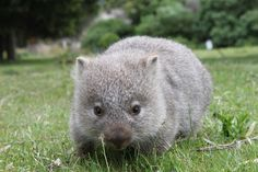 """since our last name is Womble, we hear """"wombat"""" a lot and I just think this little guy is so cute. So next time we are called """"Wombat"""" I don't think I'll mind too much! Baby Wombat, Cute Wombat, Baby Sloth, Big Animals, Cute Baby Animals, Animals And Pets, Animal Babies, Funny Animals, Poodles"""