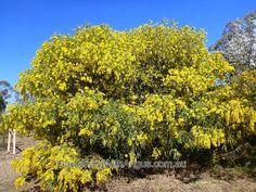 acacia - Australian Wattle