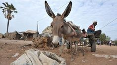 Niger bans the export of donkeys, warning a three-fold increase in trade, mainly…
