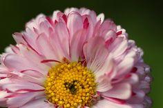 Daisy by Jola Rz on 500px