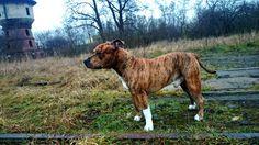 Bubek Pitbulls, Dogs, Animals, Animales, Pit Bulls, Animaux, Pet Dogs, Pitbull, Doggies