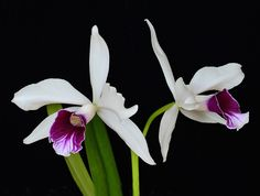 Laelia purpurata - Flickr - Photo Sharing!
