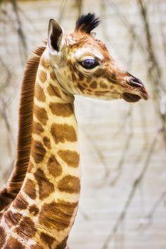 Animal Kingdom, wildography: Azizi, 6 day old giraffe By: Alex. Especie Animal, Mundo Animal, Beautiful Creatures, Animals Beautiful, Beautiful Eyes, African Animals, Zebras, Cute Baby Animals, Wild Animals