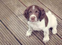 English Springer Spaniel Puppy - too cute! ^_^