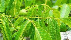 5 Black Walnut (Juglans nigra) 2 to 3 foot bare root trees Juglans Nigra, Red Wine, Plant Leaves, Seeds, Home And Garden, Marvel, Plants, Black, Literacy
