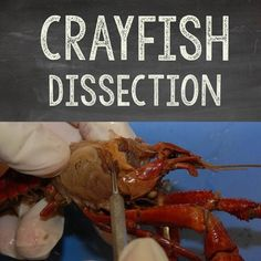 Biologyanatomy dissection bundle pig frog crayfish earthworm basic biology crayfish dissection fandeluxe Image collections