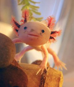 The strange but also sweet face of the axolotlis swimming into more homes. This critter is a type of salamander native to Mexico. Axolotls prefer to have a large, cool tank with a gravel bottom all to themselves. If owners are attentive to their pet's water quality and diet, these animalscan live 10–15 years. It helps that theyhave amazing regenerative abilities. Axolotls are able to heal rapidly and even regrow limbs.