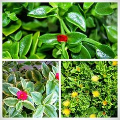 Lot Set of 3 Colors Baby Sun Rose Jewel Heart Leaf Ice Plant Aptenia Cordifolia - Variagated Pink, Yellow, and Red Succulent With Pink Flowers, Yellow Flowers, Pink Yellow, Coral, Types Of Succulents, Succulents Garden, Potted Plants For Shade, Hanging Plants, Green Leaves
