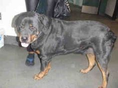 2/6/13 Friendly Rottweiler surrendered when owners moved, now sick and on death row