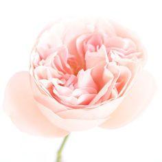 Garden Pink Aphrodite Head 350