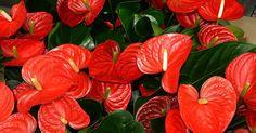 ¡Apunta los cuidados de la flor de interior más ESPECTACULAR!