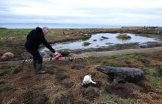 ranger sprays seal pup w/ dye so it can counted in a census. mama doesn't seem to like the idea. photo by nigel roddis
