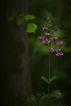 https://flic.kr/p/uZ8sHf   lily of the forest   Lilium martagon, Turk's cap lily Upper Franconia, June 2015